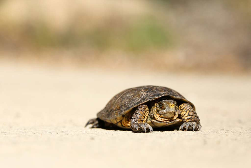 slow walking turtle